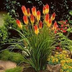 10 Kniphofia uvaria Seeds - Sow Spring - Indigenous South African Perennial Bulb Seeds for R9.50
