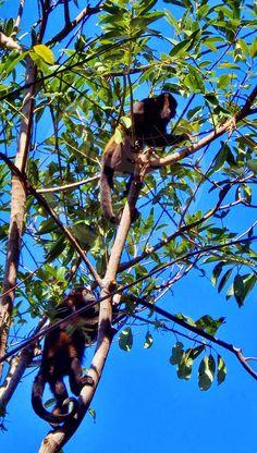 Monos Congo. Punta Guiones. Costa Rica.
