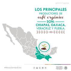 Los principales productores de café orgánico son: Chiapas, Oaxaca, Veracruz, Puebla. SAGARPA SAGARPAMX #MéxicoSiembraÉxito