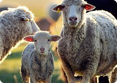 5 days for help sheep in Australia The Standards and Guidelines for sheep are designed to protect sheep. But the reality is they effectively bypass animal cruelty laws to allow workers to cut pieces off young lambs' bodies without pain relief. No food no water and Painful procedures will also continue to be permitted without any pain relief. The Australian Animal Welfare Standards and Guidelines for Sheep are open for public consultation until 6th May. This is your chance to speak up for…