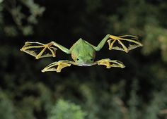 Fun fact: The Malabar gliding frog can make jumps of 9 to 12 metres thanks to the unique webbing between its toes!