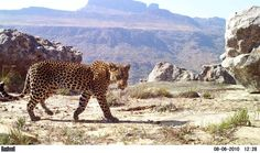 Cape Mountain Leopard in the Cederberg mountains at Bushmans Kloof Reserve close to Cape Town