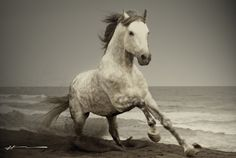 beautiful+grey+photography | Gray Lady is a pretty dapple Arab. She is wild, escaping from her pen ...