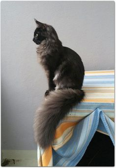 Cat Years: What Are They & How Long Do Cats Live A Maine Coon is a large breed of cat, not just referring to its voluptuous fur but its body mass, too. The Maine Coon lifespan is hardly any. Pretty Cats, Beautiful Cats, Animals Beautiful, Pretty Kitty, Cute Baby Animals, Funny Animals, Animal Memes, Funny Cats, Animals Images