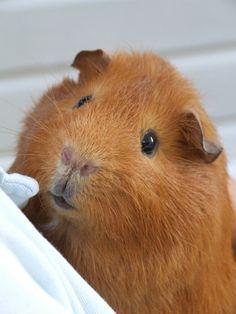 curious little pig