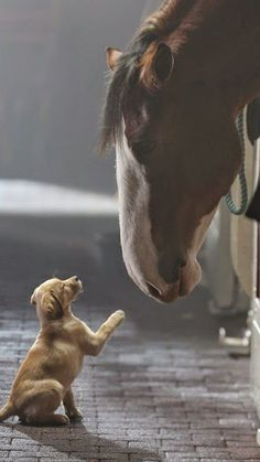 Horses - Puppy and Clydesdale horse, from the Budweiser beer ad, 'Puppy Love' Horses And Dogs, Cute Horses, Beautiful Horses, Animals Beautiful, Pretty Horses, Big Horses, Funny Horses, Beautiful Beautiful, Beautiful Creatures
