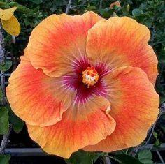 "Rare "" Orange Rainbiw "" Hibiscus Seeds Orange Pink Giant Dinner Plate Fresh Flower Garden Exotic Hardy Flower Perennial *116 117* by ToadstoolSeeds on Etsy"