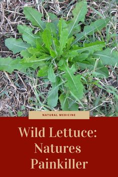 Wild lettuce can be used as a potent natural painkiller. Natural medicine / natural painkiller / homestead / survival / useful wild plants Makeup Makeup Dupes Palette Removal Style Art Care