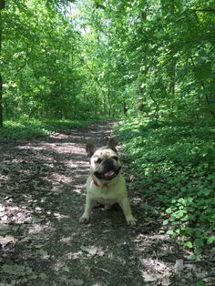 French bulldog into the woods
