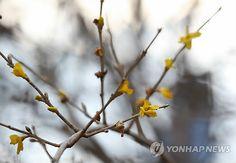 봄꽃,개나리