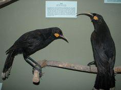 Extinct bird speceis in NZ. Extinct Birds, Extinct Animals, Living Fossil, Maori Art, Prehistoric, Fossils, At Least, Wings, Nature