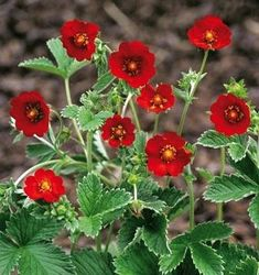 The leaves look like strawberry leaves, so I thought this was lost until it bloomed. VERY bright red flowers :) Potentilla atrosanguinea Himalayan Cinquefoil Scarlet Starlit