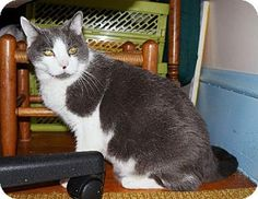 Meet Merlin, a Petfinder adoptable Domestic Short Hair Cat Short Hair Cats, New Friends, My Eyes, Short Hair Styles, It Cast, Wakefield, Merlin, Meet, Magic