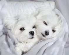 cute two maltese dogs