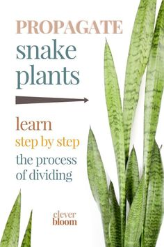 Looking to propagate your snake plant the easy way? We'll show you, step by step, how to divide Sansevieria. With just a few things (you probably have around the house) you'll be on your way to propagating in no time! Hanging Plants, Potted Plants, Cactus Plants, Garden Plants, Indoor Plants, Indoor Herbs, Indoor Gardening, Air Plants, House Plants Decor
