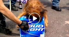 Este Cão Sabe o Que é Realmente Importante Proteger!!!