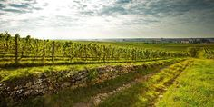 Superb vineyard of Wittmann Winery, Germany. Produces superb Riesling whites and Pinot Noir as great as Burgundy!