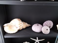 From the Durand family seashell collection. A collection of 400 shells from Chatham and all over the world. Pictured here: Atlantic Trumpet Triton and three Sea Urchin. Photo by Joanna Springer. #atwoodhouse, #durandroom, #chatham, #caepcod, #chathamhistoricalsociety, #seashells, #urchin, #conch