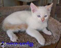 personality of flame point siamese cats - Google Search