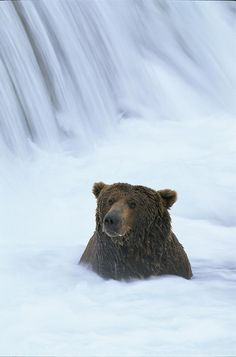 Brown Bear Sits In The Froth Photograph°°