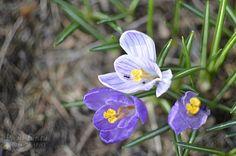 Wednesday around the World Ihanaa toukokuuta kaikille! Happy May all! Beautiful spring flowers everywhere - so lovely! Happy May, Spring Photos, My Spring, Spring Flowers, Beautiful, Spring Colors