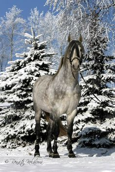 Grey dappled Andalusian in winter