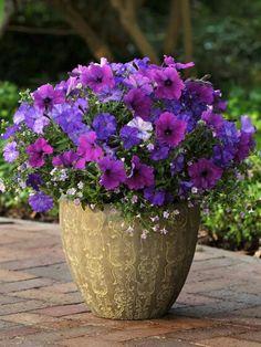 Lovely Petunias