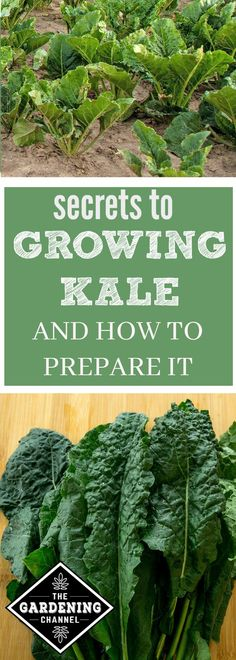 Learn how to grow and care for kale in your garden. Once you harvest it, see how to prepare it.
