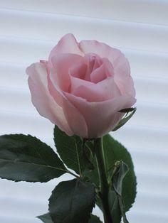 Pink Rose of May
