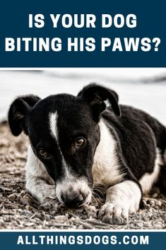 Dog biting paws can be a sign of a range of issues in dogs; from intolerance to pain. Intolerances can include both food and environmental. Read on to find out why you dog may be licking or biting at his paws. Dog Grooming Tips, Terrier Breeds, Dog Facts, Dog Rules, Brown Dog, Family Dogs, Dog Training Tips, Dog Care, Large Dogs