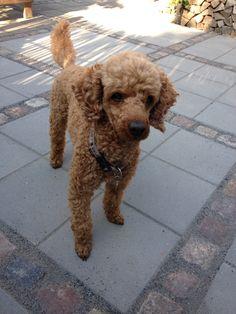 Golden poodle