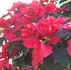 Descubre la Leyenda de la flor de Nochebuena, lindo cuento tradicional que relata los orígenes mágicos de esta planta mexicana que se ha convertido en un símbolo de la Navidad alrededor del mundo.  // Discover the Legend of the Poinsettia, a sweet folktale that explains the magical origins of this Mexican plant that has become a symbol of Christmas around the world.