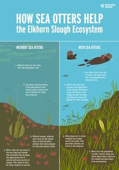 How Sea Otters Help the Elkhorn Slough Ecosystem Teaching Science, Life Science, Science And Nature, Science Fun, Teaching Ideas, Elkhorn Slough, Keystone Species, Kelp Forest, Evolutionary Biology