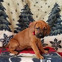 Croydon, New Hampshire - Boxer. Meet Snow in NH, a for adoption. https://www.adoptapet.com/pet/20426971-croydon-new-hampshire-boxer-mix