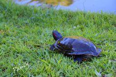 水辺の sketch・・9 Turtle, Nature, Animals, Turtles, Naturaleza, Animales, Animaux, Tortoise, Animal