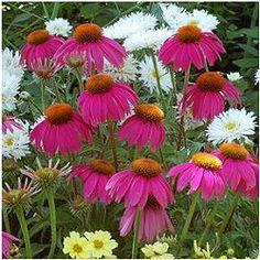 echinacea-redkneehigh3.jpg (31041 bytes) 'Red Knee High'