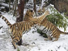 Dados apontam sobre os tigres de bengala, Milhares de tigres já habitaram as florestas de Bangladesh