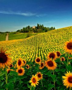 Sunflower Field, Tuscany, Italy.