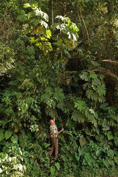 Patrick Blanc at the base of the huge Begonia parviflora, Manu NP, Peru, Aug 2014