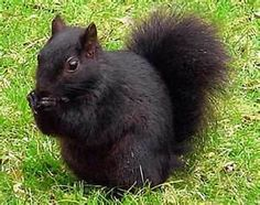 Have you ever seen a black squirrel?  I have, in my backyard