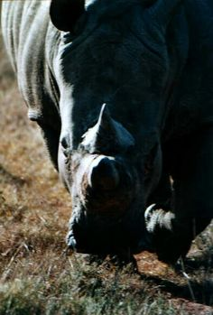 Rhino on the chase