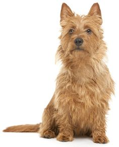 Learn about the temperament and personality of the Australian Terrier.