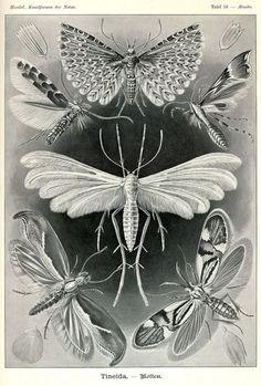 Ernst Haeckel - Kunstformen der Natur - Artforms of Nature: Illustration by Ernst Haeckel Más Ernst Haeckel Art, Crab Art, Natural Form Art, Nature Prints, Nature Paintings, Antique Prints, White Art, Black White, Botanical Prints