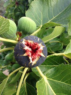 Figs in mallorca