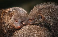 flirt by Detlef Knapp - Photo 155153739 / 500px Flirting, Mongoose, Lily, Pets, Nature, Animals, Dragon, Amazing, Naturaleza
