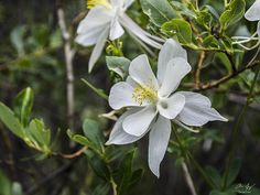 White Columbine, White River Natl Forest, Colorado by Aaron Spong