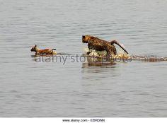 guepardo (Acinonyx jubatus), joven caza de animales en el agua, Tanzania, Serengeti National Park - Imagen de archivo