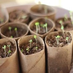 Growing from seed?  The cheapest way of all? Use toilet rolls to get you going.  And save all your vege and fruit seeds when you eat this summer.  Composting seed start containers made from toilet paper rolls