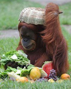 Tanga, a Sumatran orangutan, enjoys fruit and vegetables after receiving a Christmas hamper at Rio de Janeiro's zooPicture: VANDERLEI ALMEIDA/AFP/Getty Images
