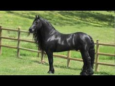 ▶For those of you who love Friesians, this video is on Frederik the Great, one of the most stunningly beautiful Friesian you will ever see.....